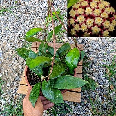 Hoya finlaysonii (cuia 21 várias mudas)