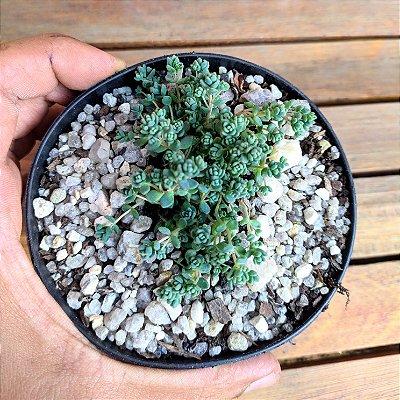 Sedum dasyphyllum 'minor'