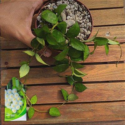 Hoya krohniana 'sweet heart' (pote11)