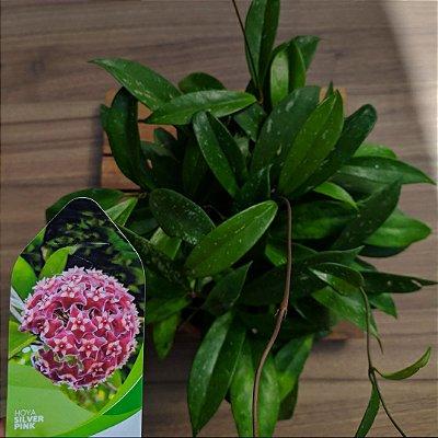 Hoya Silver Pink (cuia21 várias mudas))