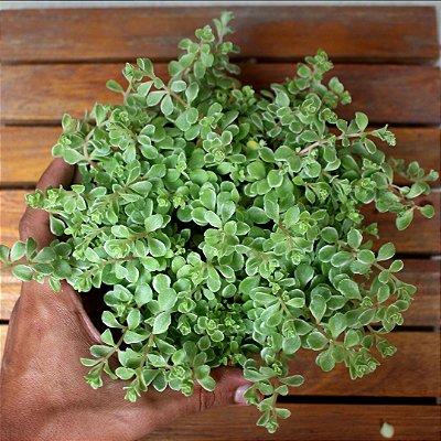 Sedum makinoi variegata (cuia13)
