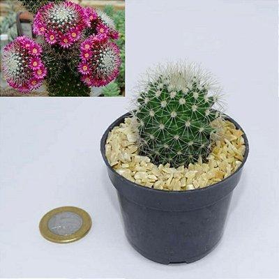 Mammillaria backebergiana ernestii