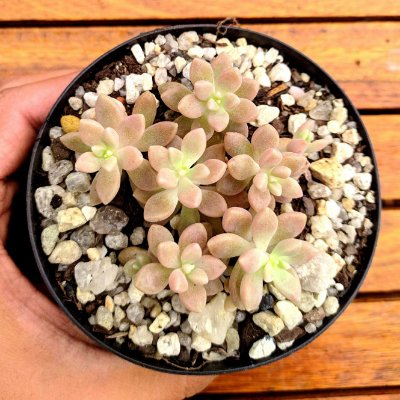 Graptopetalum 'Mirinae' (5 rosetas)