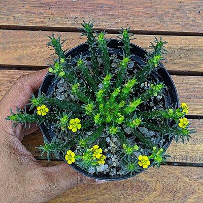 Euphorbia flanagani (cabeça de medusa)