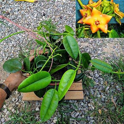 Hoya ruthie (cuia 21)