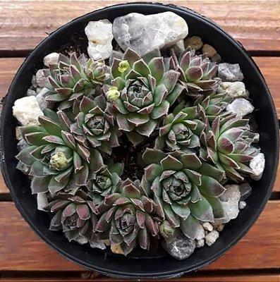 Sempervivum globiferum ssp. hirtum 'Borealis