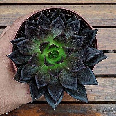 Echeveria Black Prince (vaso11)