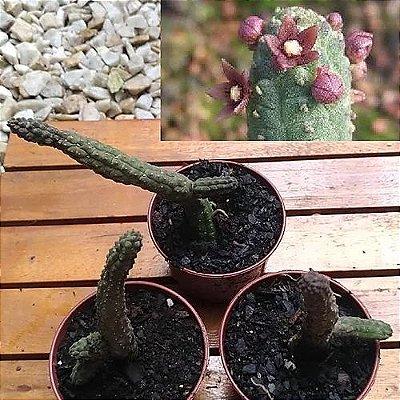 Echidnopsis cereiformis (1 haste)