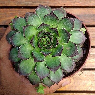 Sempervivum tectorum 'Isella'