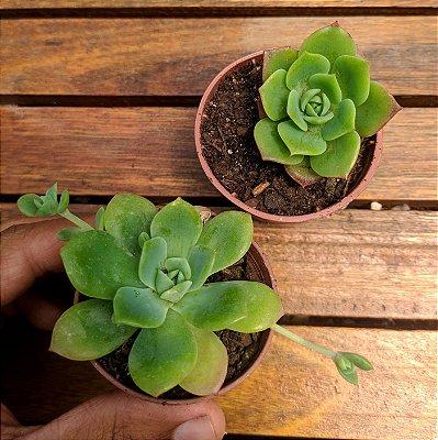 Graptoveria 'Jadeita' (vaso6)