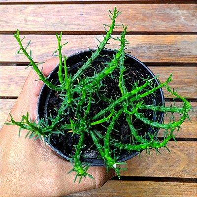 Euphorbia flanaganii (cabeça de Medusa) 3 mudas