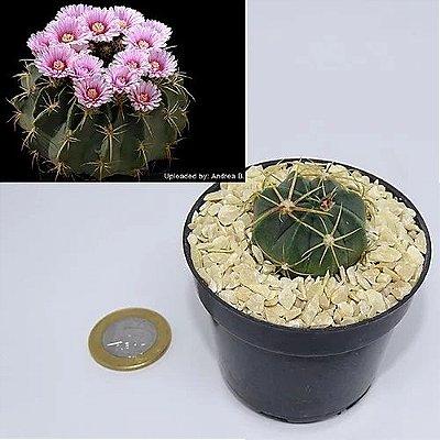 Ferocactus macrodiscus