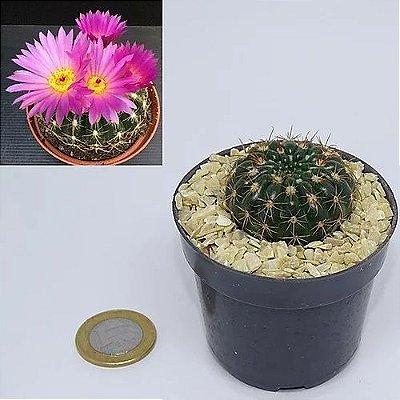 Notocactus uebelmanianus