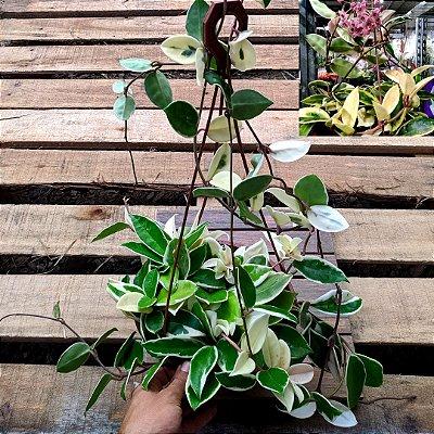Hoya carnosa variegata (cuia 21 várias mudas)