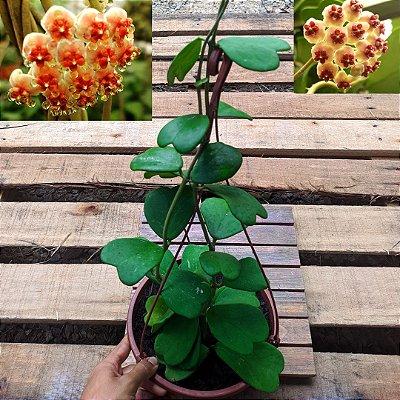 Hoya kerrii (planta coração) cuia 21 2 mudas