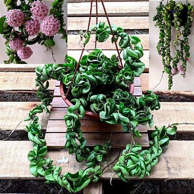 Hoya compacta green (várias mudas cuia 21)