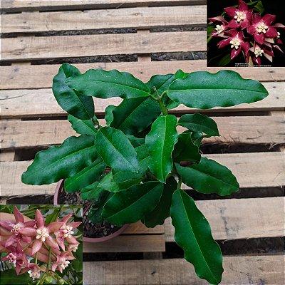 Hoya imperialis pink (cuia 21)