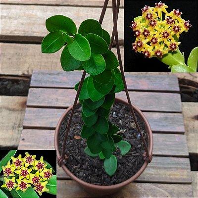 Hoya cumingiana (vaso 15)