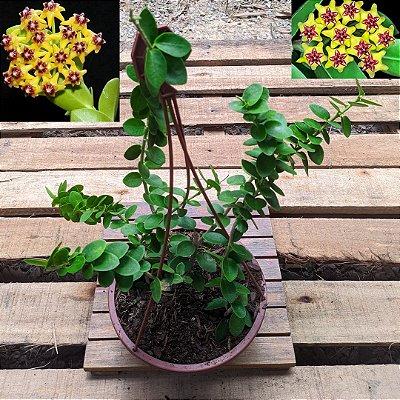 Hoya cumingiana (cuia 21)