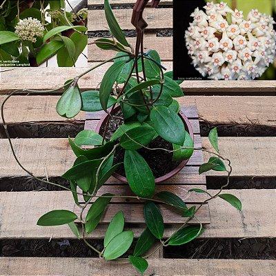 Hoya verticilata (cuia 21)