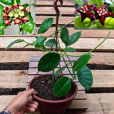 Hoya ciliata (cuia 21)