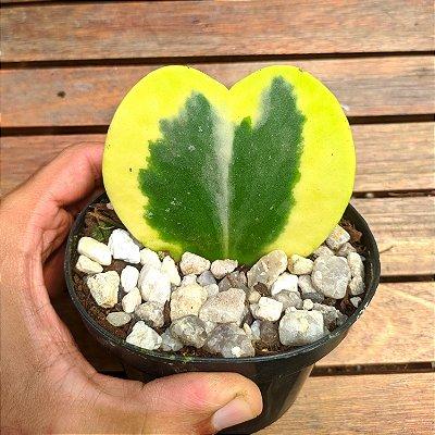 Hoya kerrii variegata (planta coração)