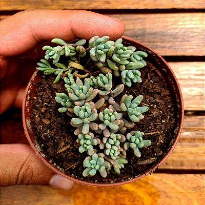 Sedum 'Spanicum Blue' (vaso9)