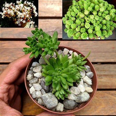 Sedum hirsutum spp. baeticum (vaso7)