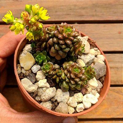 Cremnosedum 'Little Gem ' (vaso9)