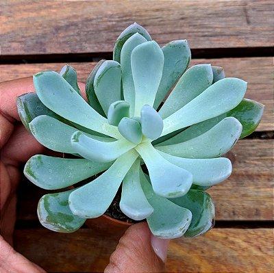 Pachyveria scheideckeri (vaso6)