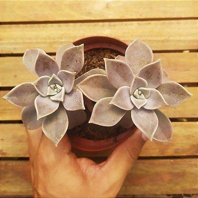 Graptopetalum paraguaiense (vaso11)
