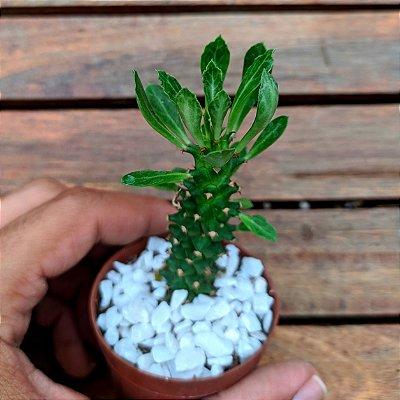 Monadenium guentheri (vaso7)