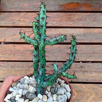 Euphorbia aeruginosa (vaso11)
