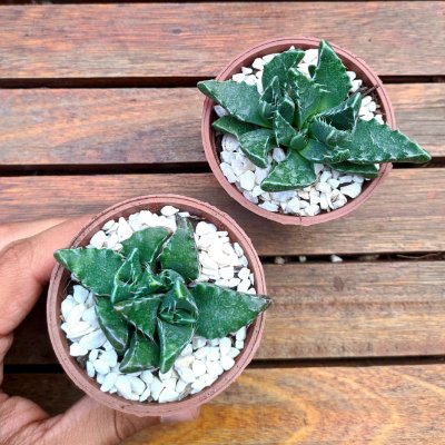 Faucaria woolii (vaso7)