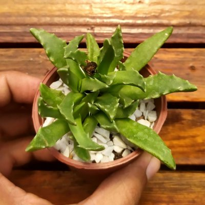 Faucaria paucidens (vaso7)