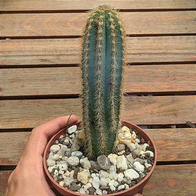 Pilosocereus pachycladus (vaso11)