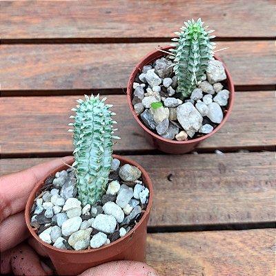Euphorbia mammillaris variegata (vaso6)