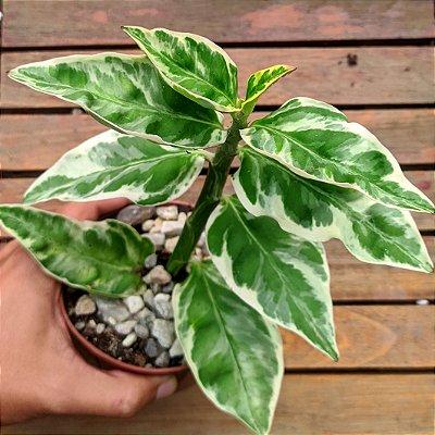 Euphorbia tithymaloides variegata (vaso11)