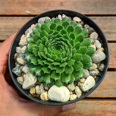 Sempervivum 'Green Wheel' (vaso11)