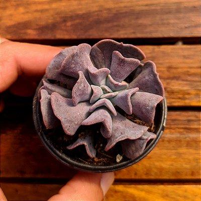 Echeveria 'Cubic Frost' (vaso6)