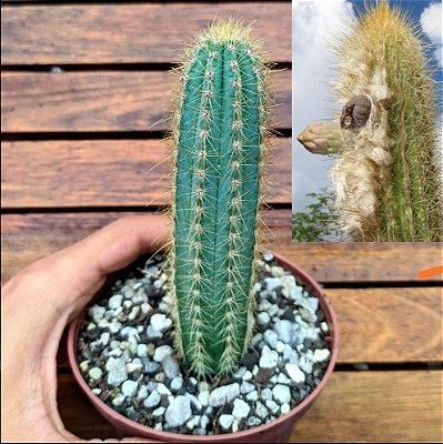 Pilosocereus pernambucoensis (vaso11)