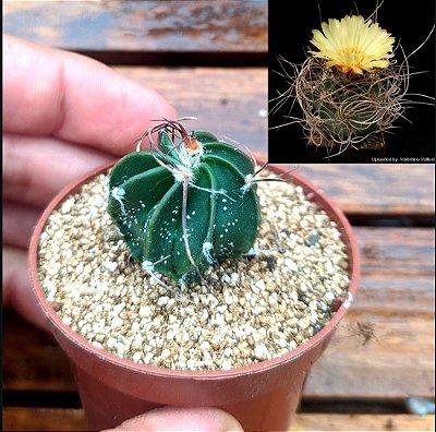 Astrophytum senile (vaso6)