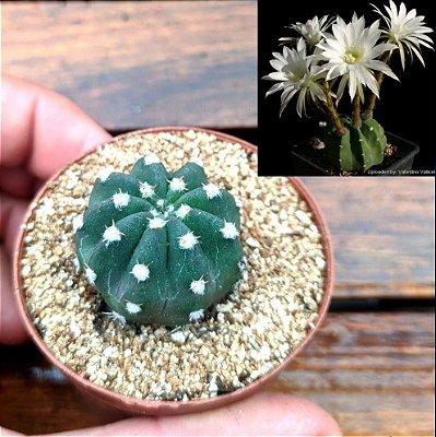 Echinopsis subdenudata (vaso6)