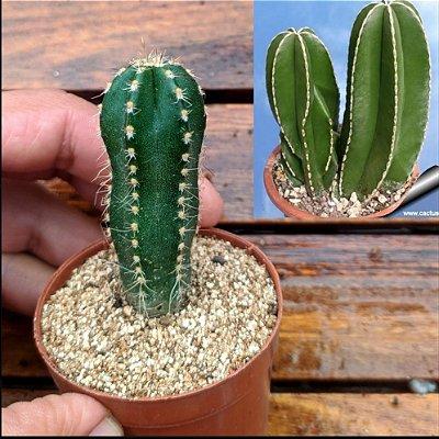 Marginatocereus marginatus (vaso6)