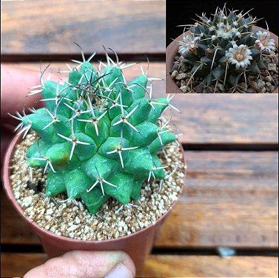 Mammillaria centricirrha var. magnimamma (vaso6)