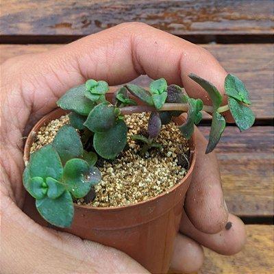 Crassula pellucida var. rubra (vaso6)