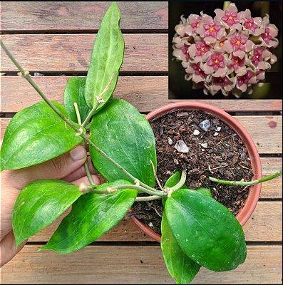 Hoya aldrichii (vaso11)