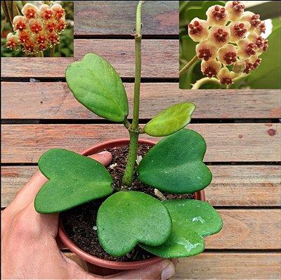 Hoya kerrii (planta coração)
