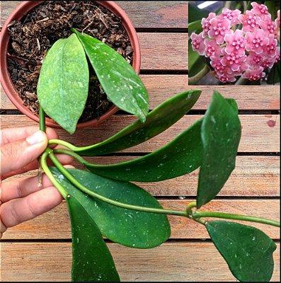 Hoya diversifolia (vaso11)