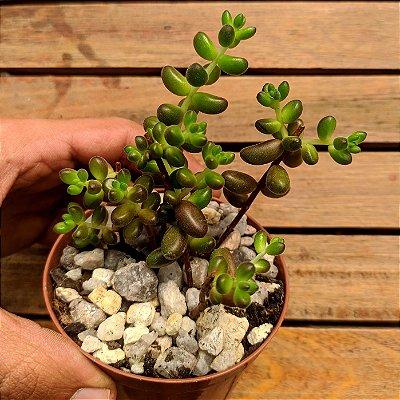 Sedum stahlii (vaso9)